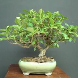 Gardenia jazminoides