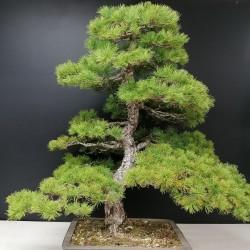 Pino parviflora
