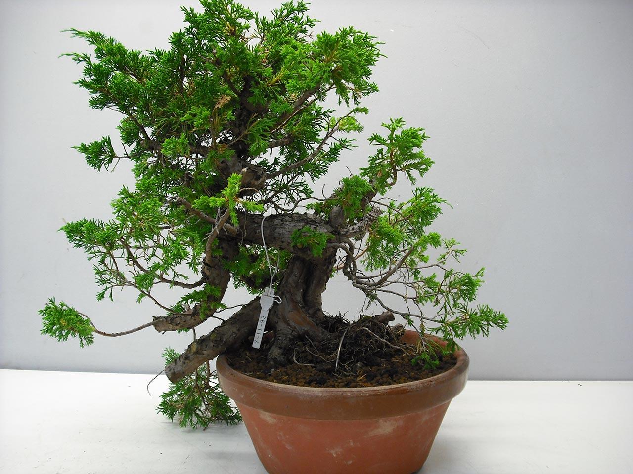 junípero chinensis